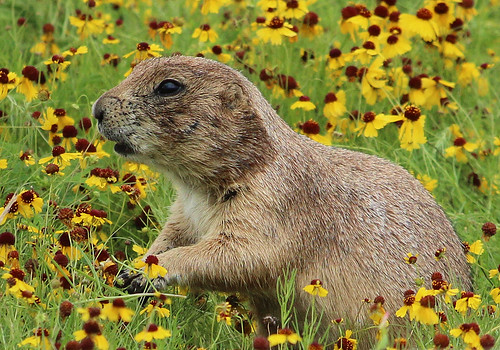 Prairie Dog | by *dxd*
