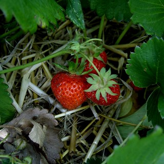 Strawberries | by James Bowe