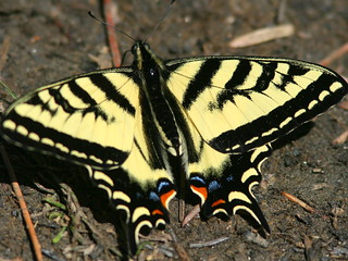 Tiger Swallowtail 20100617 | by Kenneth Cole Schneider