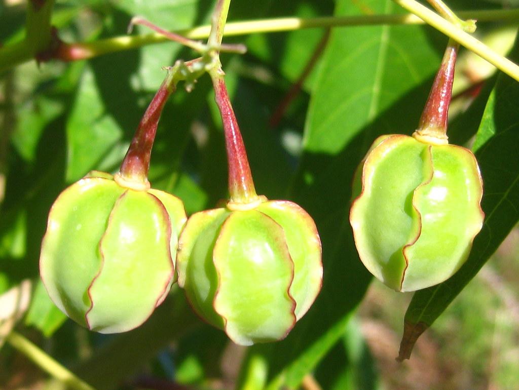 cassava fruits ton rulkens flickr