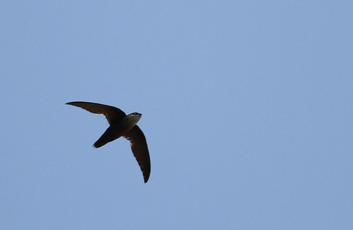 Chimney Swift | by uropsalis