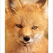 Baby Foxl