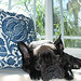 LeRoy+Black French Bulldog+Barclay Butera pillows+palms+window