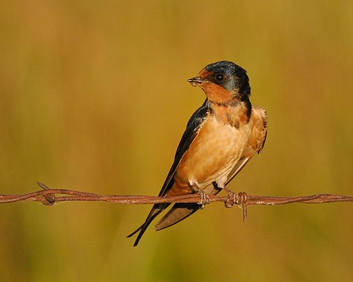Barn Swallow | With an itty bitty bug, for jr. | Donald ...