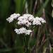 Wildflowers C20100627 009
