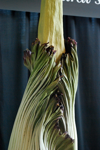 7.20.10 Amorphophallus titanum [10 am] | by Houston Museum of Natural Science