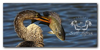 Anhinga Lunch,Made Explore July 22nd #190,My 145th | by Nature Photos by Scott