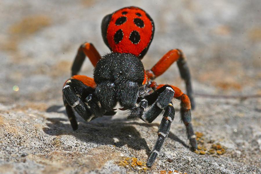 паук из красной книги фото