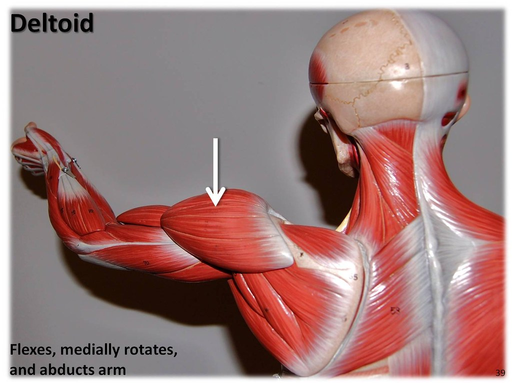 Deltoid Muscles Of The Upper Extremity Visual Atlas Pag Flickr