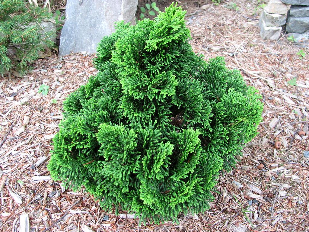 dwarf hinoki cypress chamaecyparis obtusa 39 nana gracilis. Black Bedroom Furniture Sets. Home Design Ideas