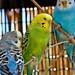 Budgerigar (parakeet)