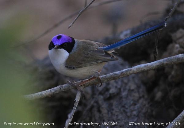 Purple-crowned Fairy-w...