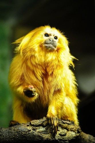 Golden Lion Tamarins | by Potter Park Zoo