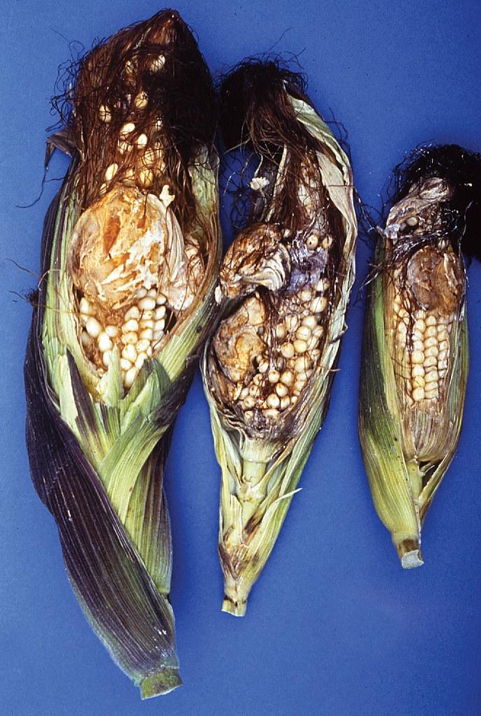 ergot on maize maize ear showing symptoms of ergot or hor flickr. Black Bedroom Furniture Sets. Home Design Ideas