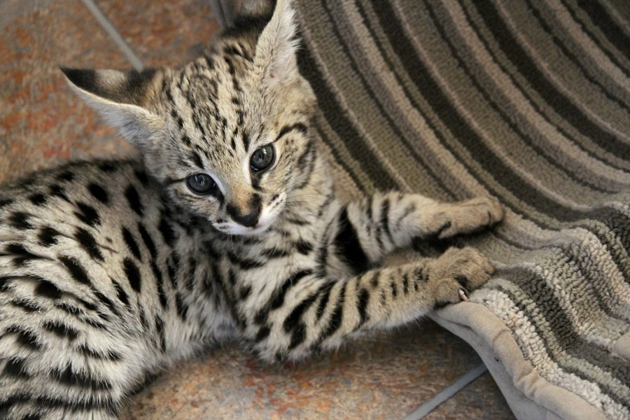 Savannah Cats For Sale In Miami Florida