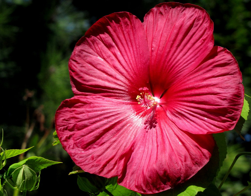 Luna Hibiscus | This is a perennial hibiscus, that will ...