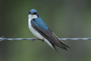 Tree Swallow DSC_8953 | by Ron Kube Photography