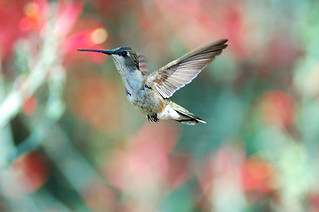 Female Allen's Hummingbird Posing | by Lou Orr
