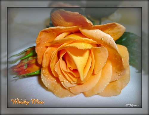 Whisky Mac Rose | by Sandi (VERY busy lady)