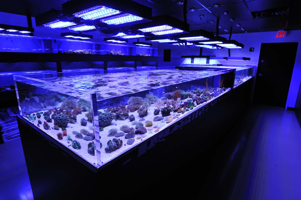 coral frag tanks at reef culture lit by panorama led aquar flickr. Black Bedroom Furniture Sets. Home Design Ideas