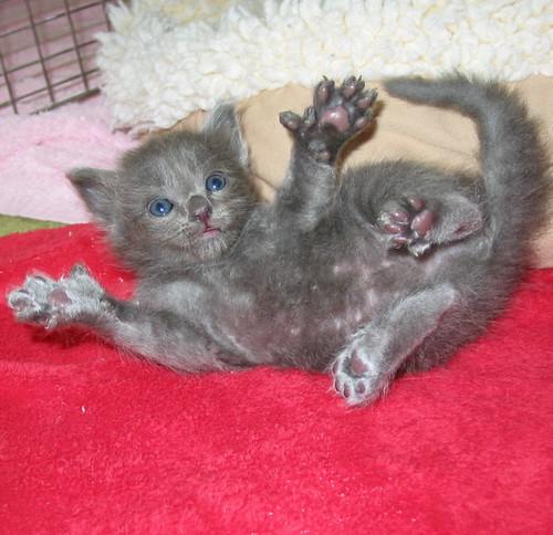 Hemmingway Cat Russian Blue
