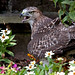 Juvenile Red-tailed Hawk (Buteo Jamaicensis) after killing a rabbit