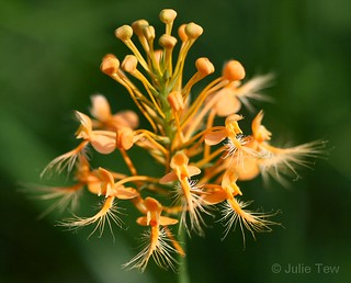 Yellow Fringed Orchid | by jupitersnest