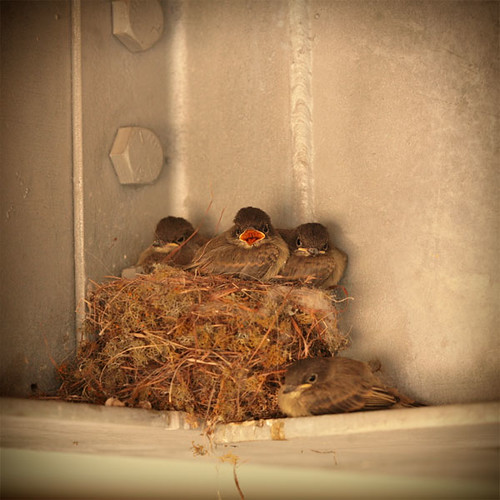 Eastern phoebe chicks | by Jilroy Frosting Psmith