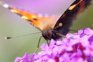 Small Tortoiseshell | by Mike Serigrapher