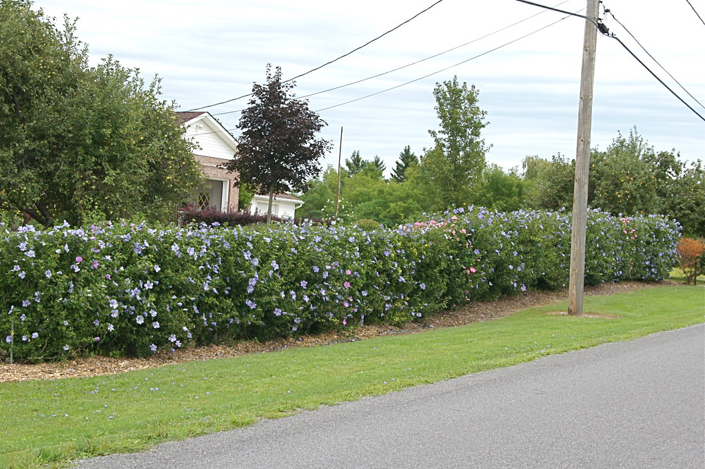 Rose of sharon hedge