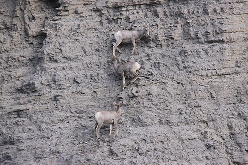 bighorn sheep | by calljohn1