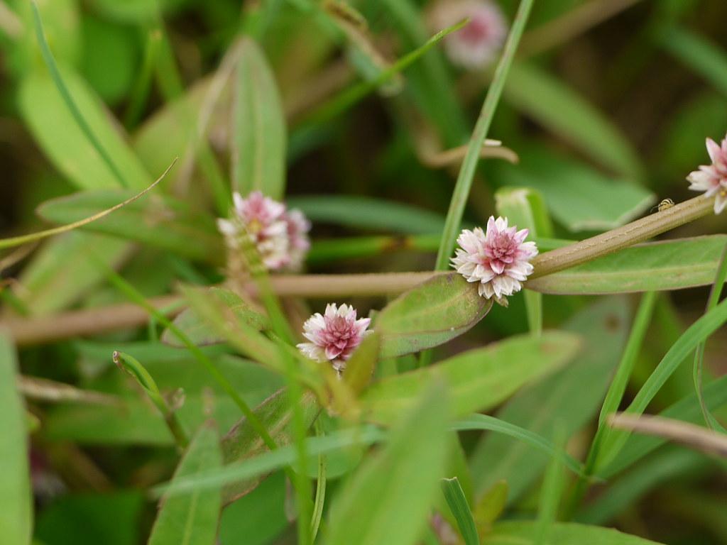 Matikanduri assamese amaranthaceae for Terrace meaning in tamil