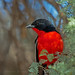 Crimson beauty