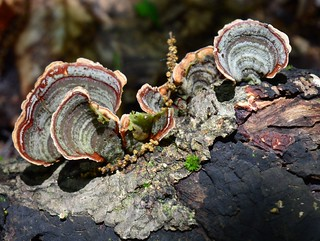 Turkey Tail | by melindamarino64