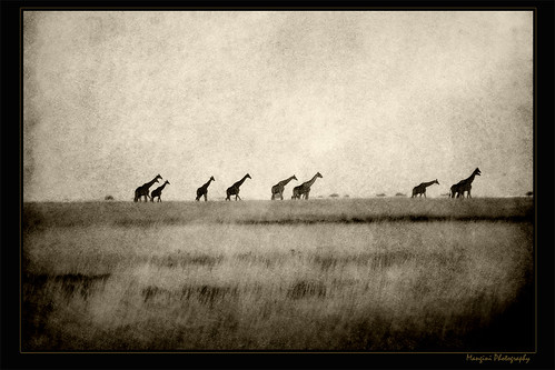 Long necks walking in the Pan! | by Mangini Adalberto & Laura - sorry busy - few time