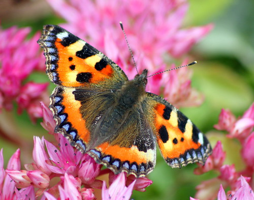 small tortoiseshell | by coffiecoffie