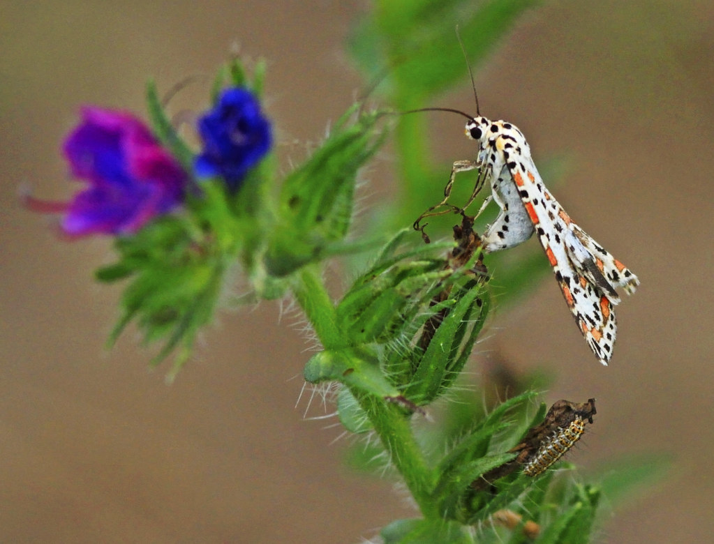 Heliotrope Moth and Carterpillar : 2 generations . . .
