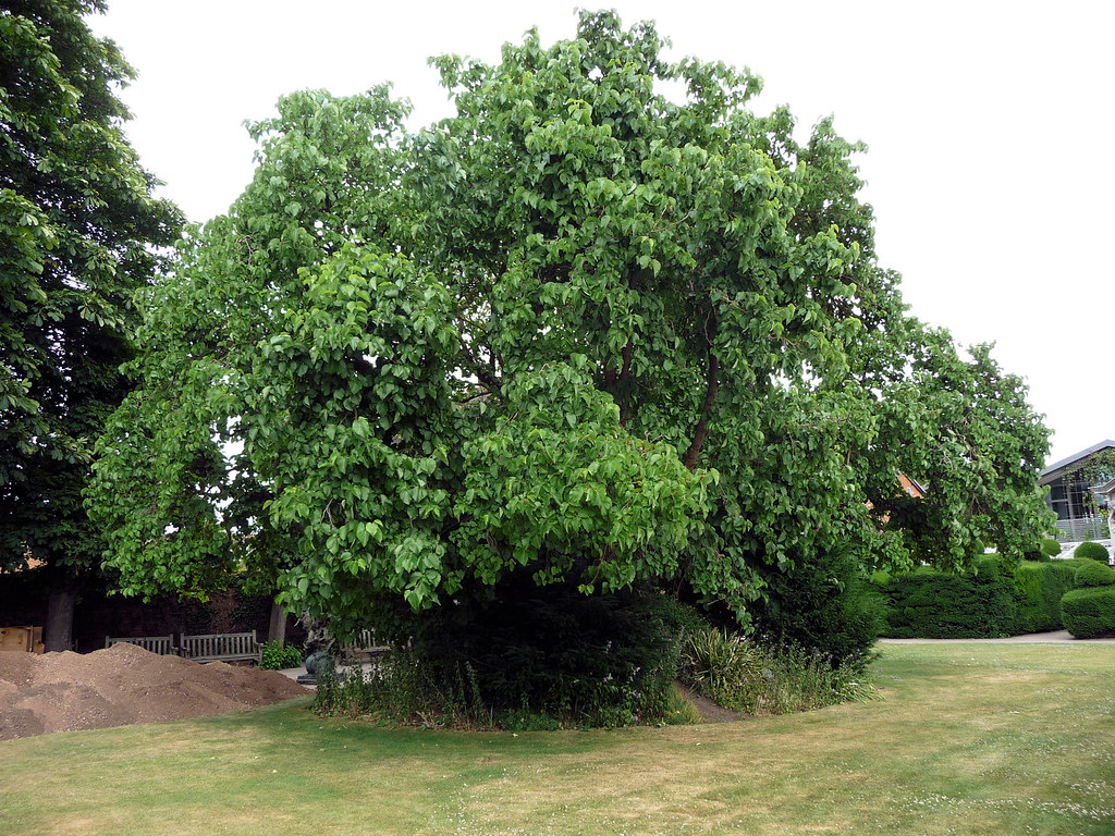 Black Mulberry Morus Nigra This Ancient Mulberry At