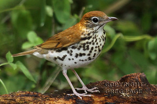 Wood Thrush | by gregpage1465