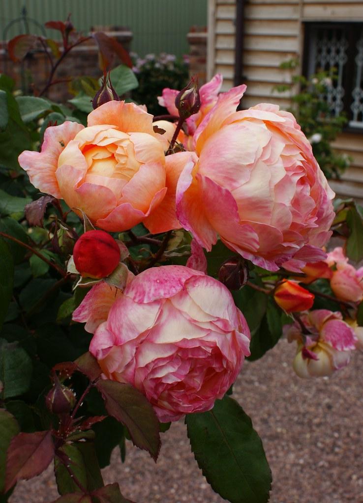 rosa 39 lady emma hamilton 39 2 karl gercens flickr. Black Bedroom Furniture Sets. Home Design Ideas