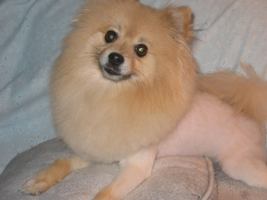 What a lion haircut should look like | On a pomeranian