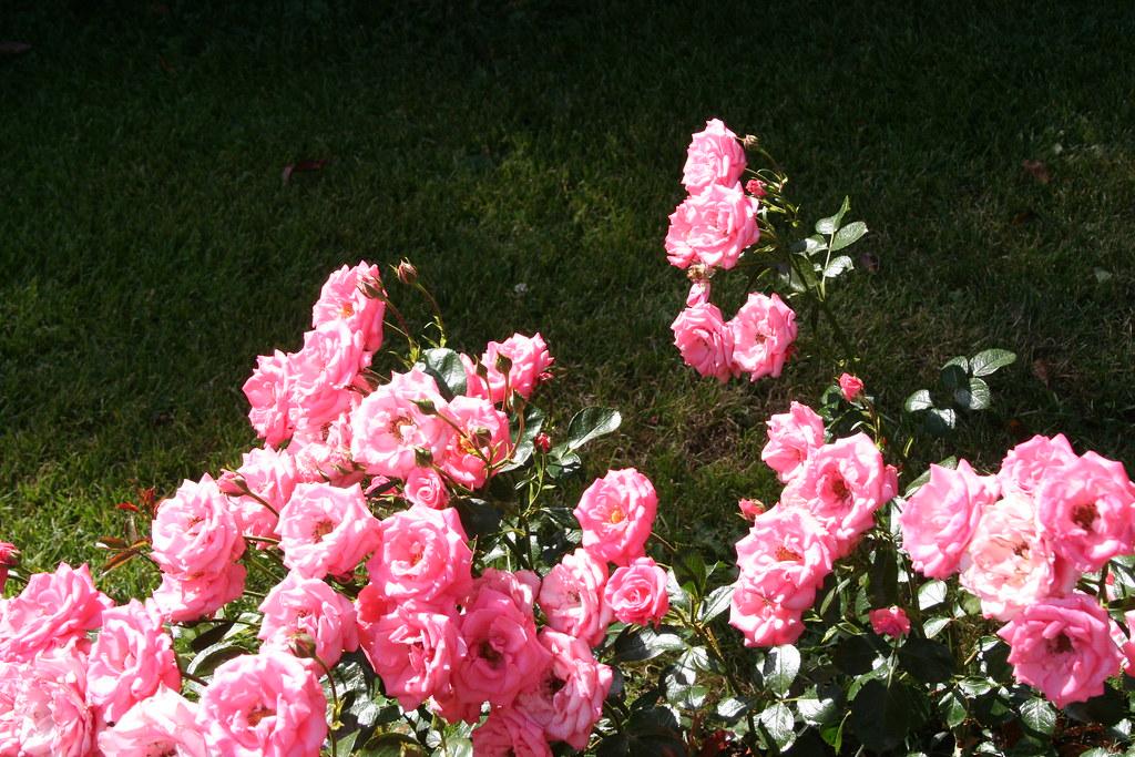 bella rosa sirpale79 flickr. Black Bedroom Furniture Sets. Home Design Ideas