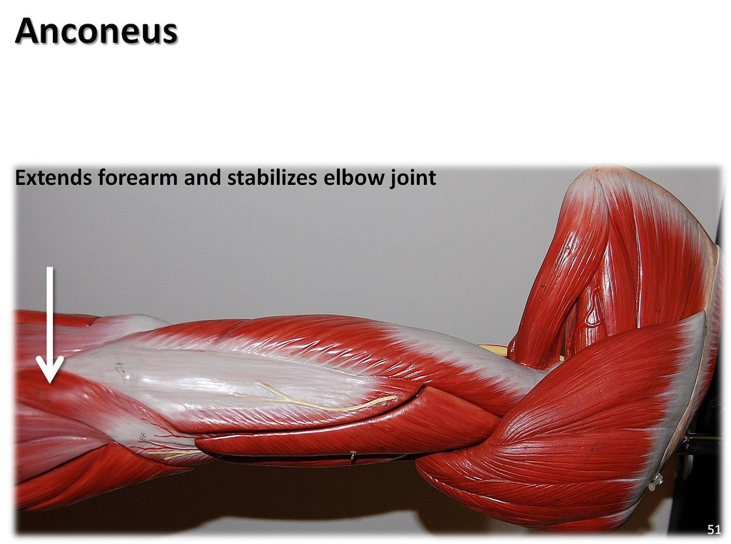Anconeus Muscles Of The Upper Extremity Visual Atlas Pa