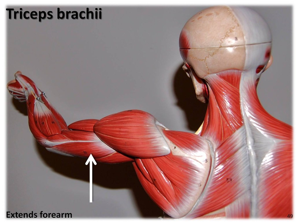 Tricpes brachii - Muscles of the Upper Extremity Visual At… | Flickr