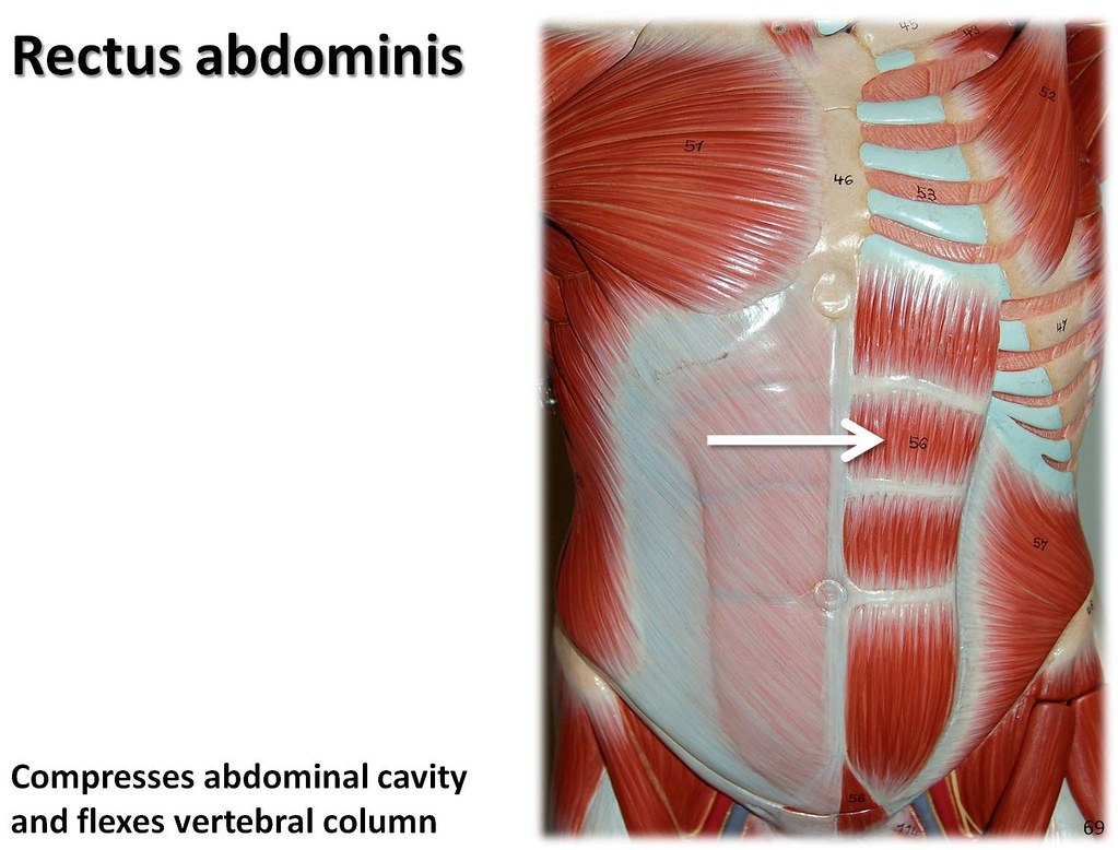 Rectus abdominis - Muscles of the Upper Extremity Visual A… | Flickr
