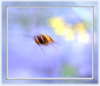 a hover fly flying ;-) | by *Psyche Delia*