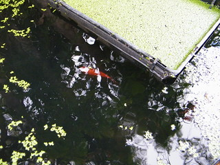 a goldfish and duckweed | by Milkwood.net