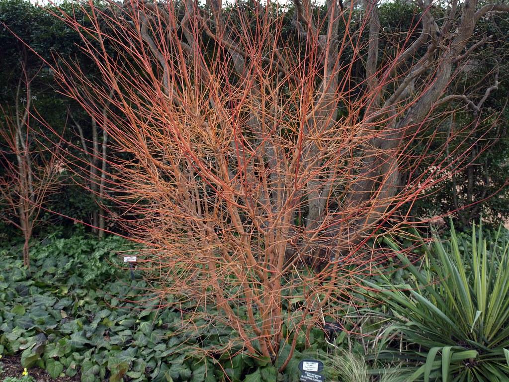 Cornus sanguinea \'Midwinter Fire\' klr | Clemson Extension Home ...