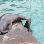 Sea Lions Playing - San Cristobal - Galapagos Islands - Ecuador
