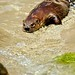 North American River Otter - Mike